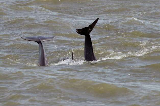 A trio of dolphins swim in Galveston Bay near Pelican Island Thursday, Oct. 18, 2012, in Galveston. Photo: Brett Coomer, Houston Chronicle / © 2012 Houston Chronicle