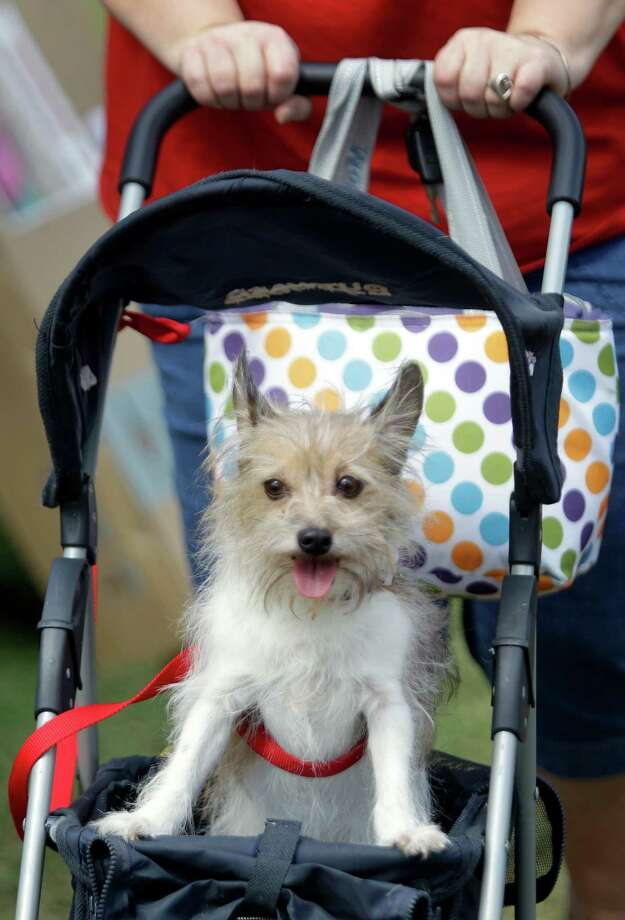 Jerri Moseley of Kingwood pushes her dog, Meedha, in a pet stroller  during Pet Fest in Old Town Spring Sunday, Oct. 21, 2012, in Spring. Photo: Melissa Phillip, Houston Chronicle / © 2012 Houston Chronicle