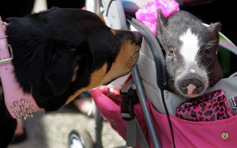 A dog named, Dixie, checks out Paisley, a miniature pot bellied pig, being pushed in a pet stroller