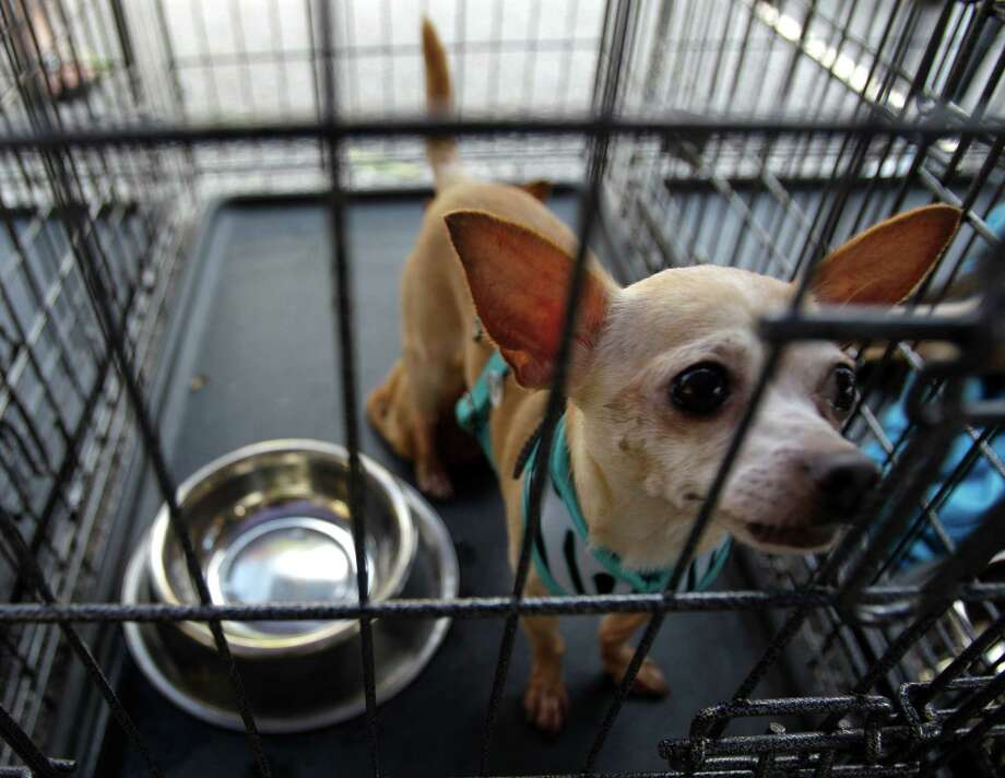A chihuahua named Hoori waits to adopted at the Adopt A Rescued Friend booth during Pet Fest in Old Town Spring Sunday, Oct. 21, 2012, in Spring. Photo: Melissa Phillip, Houston Chronicle / © 2012 Houston Chronicle