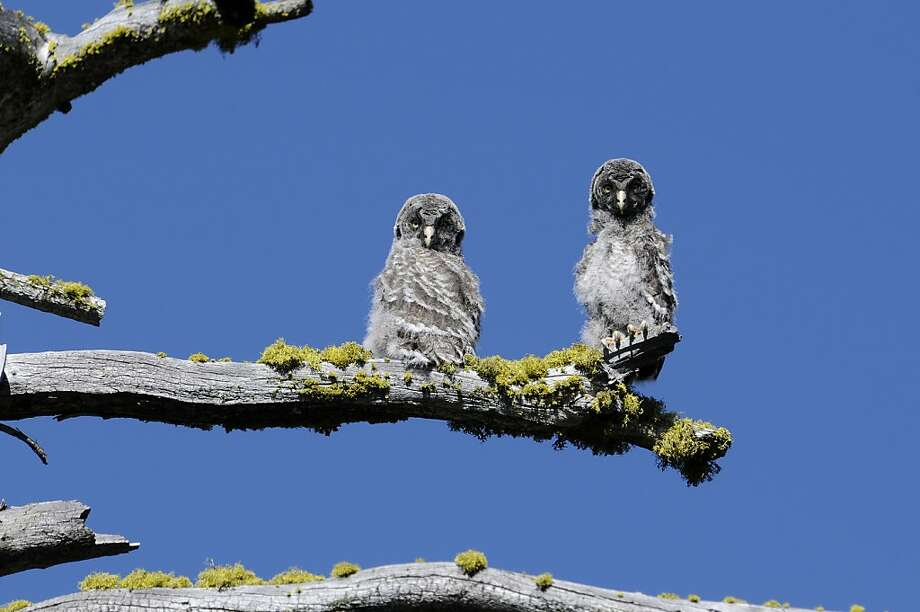 Two juvenile great gray owls in Yosemite belong to a unique subspecies found only in Yosemite. The owls, which number about 200, pose a concern to scientists trying to protect them. Photo: Associated Press