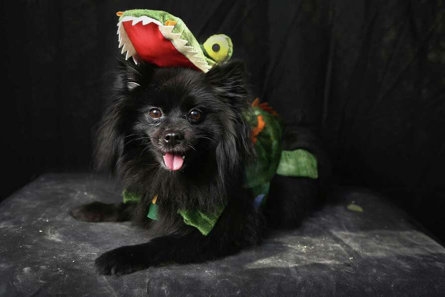 NEW YORK, NY - OCTOBER 20:  Preston, a Pomeranian, poses as a dragon at the Tompkins Square Hallowee