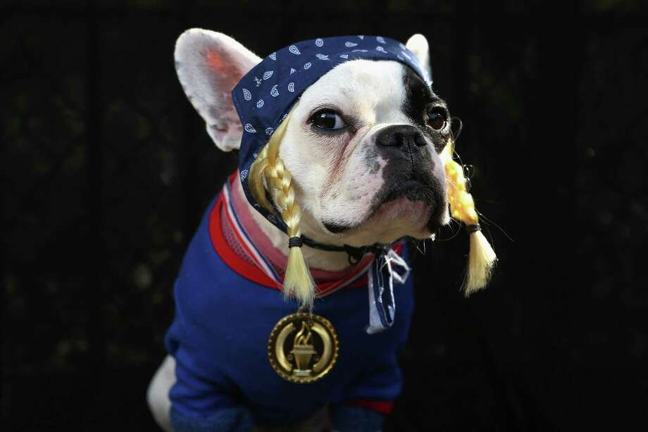 NEW YORK, NY - OCTOBER 20:  French Bulldog Lula poses as the Olympic Team USA at the Tompkins Square Halloween Dog Parade on October 20, 2012 in New York City. Hundreds of dog owners festooned their pets for the annual event, the largest of its kind in the United States. Photo: John Moore, Getty Images / 2012 Getty Images