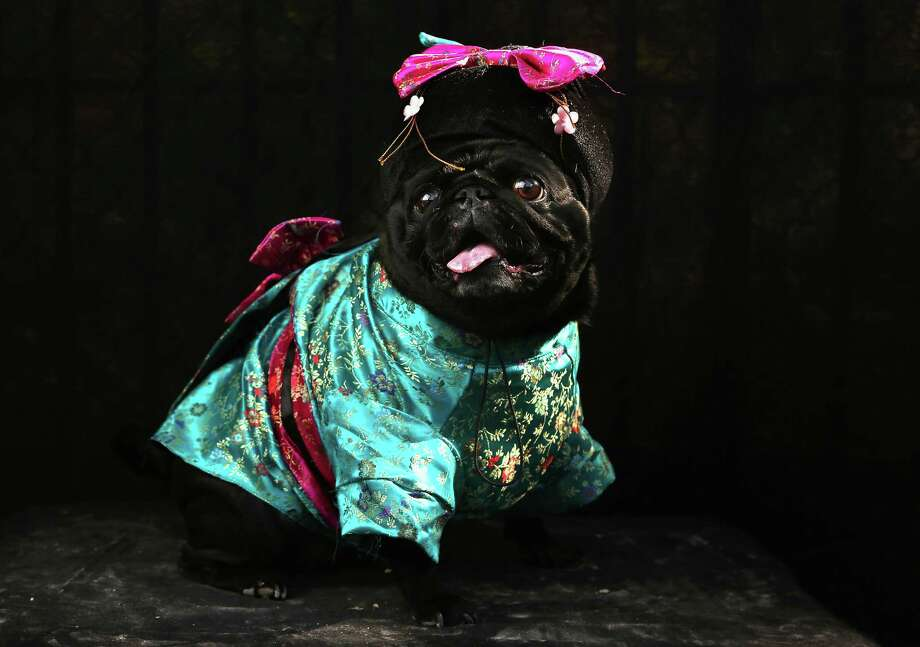 NEW YORK, NY - OCTOBER 20:  Penny, a Pug, poses as a Geisha at the Tompkins Square Halloween Dog Parade on October 20, 2012 in New York City. Hundreds of dog owners festooned their pets for the annual event, the largest of its kind in the United States. Photo: John Moore, Getty Images / 2012 Getty Images