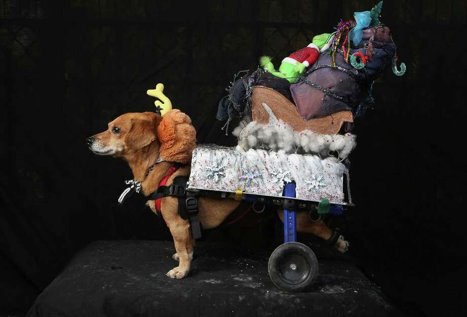 "NEW YORK, NY - OCTOBER 20:  Oscar, a rescued Chihuahua-mix wheelchair dog, poses as Max from ""The Grinch Who Stole Christmas"" at the Tompkins Square Halloween Dog Parade on October 20, 2012 in New York City. Hundreds of dog owners festooned their pets for the annual event, the largest of its kind in the United States. Photo: John Moore, Getty Images / 2012 Getty Images"