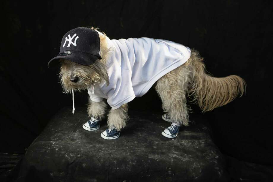 NEW YORK, NY - OCTOBER 20:  Maltipoo Shaggy poses as a Yankees fan at the Tompkins Square Halloween Dog Parade on October 20, 2012 in New York City. Hundreds of dog owners festooned their pets for the annual event, the largest of its kind in the United States. Photo: John Moore, Getty Images / 2012 Getty Images