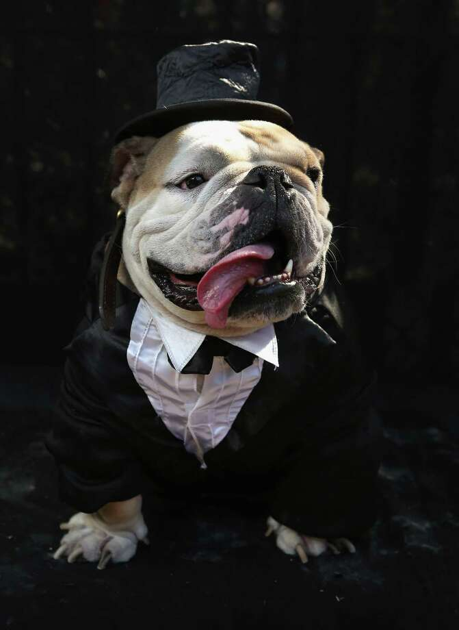 NEW YORK, NY - OCTOBER 20:  Meatball, a bulldog, poses in a tuxedo at the Tompkins Square Halloween Dog Parade on October 20, 2012 in New York City. Hundreds of dog owners festooned their pets for the annual event, the largest of its kind in the United States. Photo: John Moore, Getty Images / 2012 Getty Images
