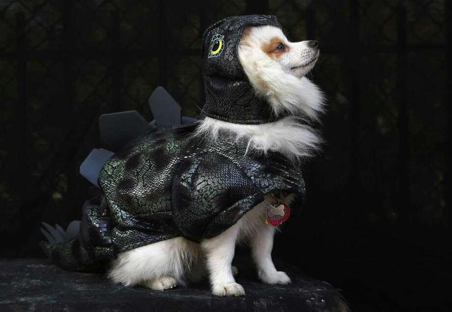 NEW YORK, NY - OCTOBER 20:  Pomeraniian Fritz poses as a dragon at the Tompkins Square Halloween Dog Parade on October 20, 2012 in New York City. Hundreds of dog owners festooned their pets for the annual event, the largest of its kind in the United States. Photo: John Moore, Getty Images / 2012 Getty Images