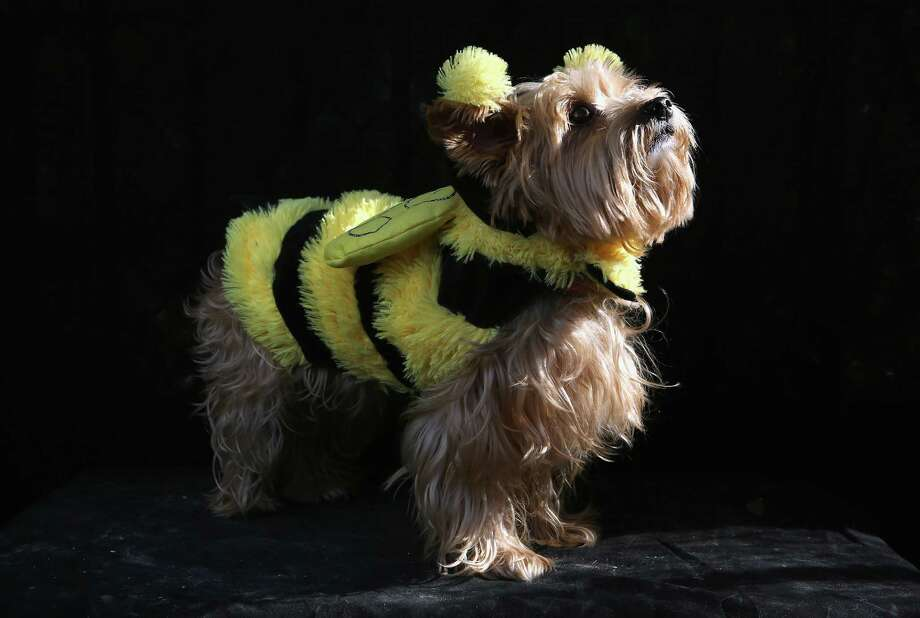 NEW YORK, NY - OCTOBER 20:  Daisy, a Yorkie, poses as a bumble bee at the Tompkins Square Halloween Dog Parade on October 20, 2012 in New York City. Hundreds of dog owners festooned their pets for the annual event, the largest of its kind in the United States. Photo: John Moore, Getty Images / 2012 Getty Images
