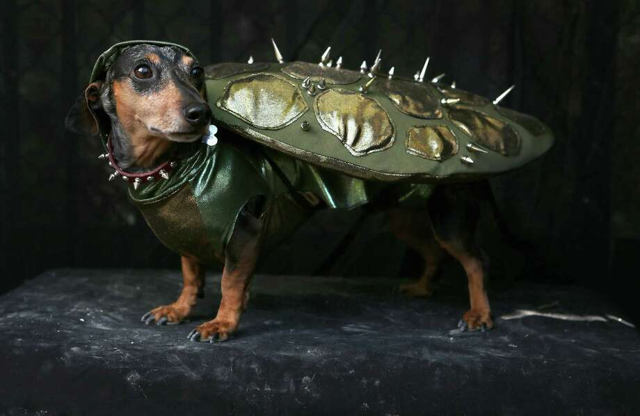 NEW YORK, NY - OCTOBER 20:  Pepper, a Dachshund, poses as a turtle at the Tompkins Square Halloween Dog Parade on October 20, 2012 in New York City. Hundreds of dog owners festooned their pets for the annual event, the largest of its kind in the United States. Photo: John Moore, Getty Images / 2012 Getty Images