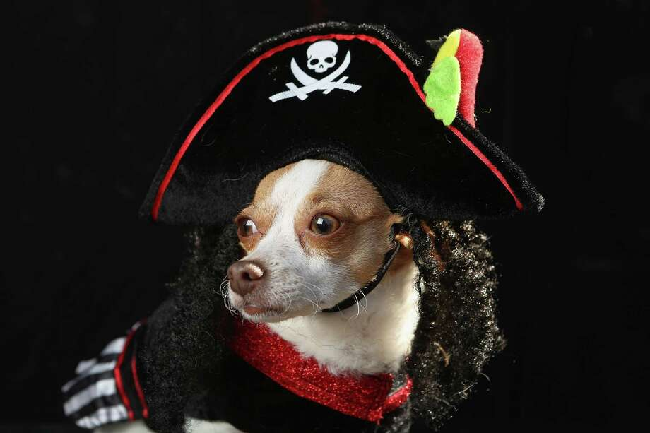 NEW YORK, NY - OCTOBER 20:  Little, an Alessandra breed, poses as a pirate at the Tompkins Square Halloween Dog Parade on October 20, 2012 in New York City. Hundreds of dog owners festooned their pets for the annual event, the largest of its kind in the United States. Photo: John Moore, Getty Images / 2012 Getty Images