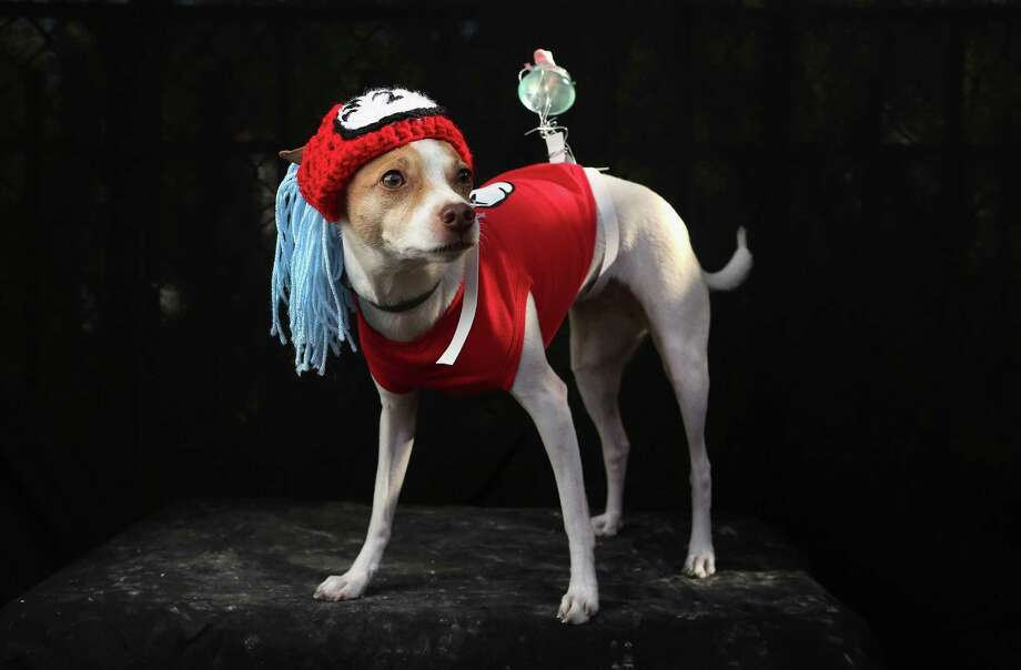 NEW YORK, NY - OCTOBER 20:  Dollar, a Toy Fox Terrier, poses as Dr. Seuss character Thing 2 at the Tompkins Square Halloween Dog Parade on October 20, 2012 in New York City. Hundreds of dog owners festooned their pets for the annual event, the largest of its kind in the United States. Photo: John Moore, Getty Images / 2012 Getty Images
