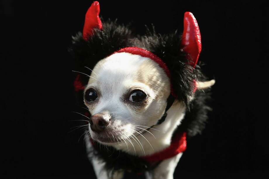 NEW YORK, NY - OCTOBER 20:  Pants, a Chihuahua, poses as a devil at the Tompkins Square Halloween Dog Parade on October 20, 2012 in New York City. Hundreds of dog owners festooned their pets for the annual event, the largest of its kind in the United States. Photo: John Moore, Getty Images / 2012 Getty Images
