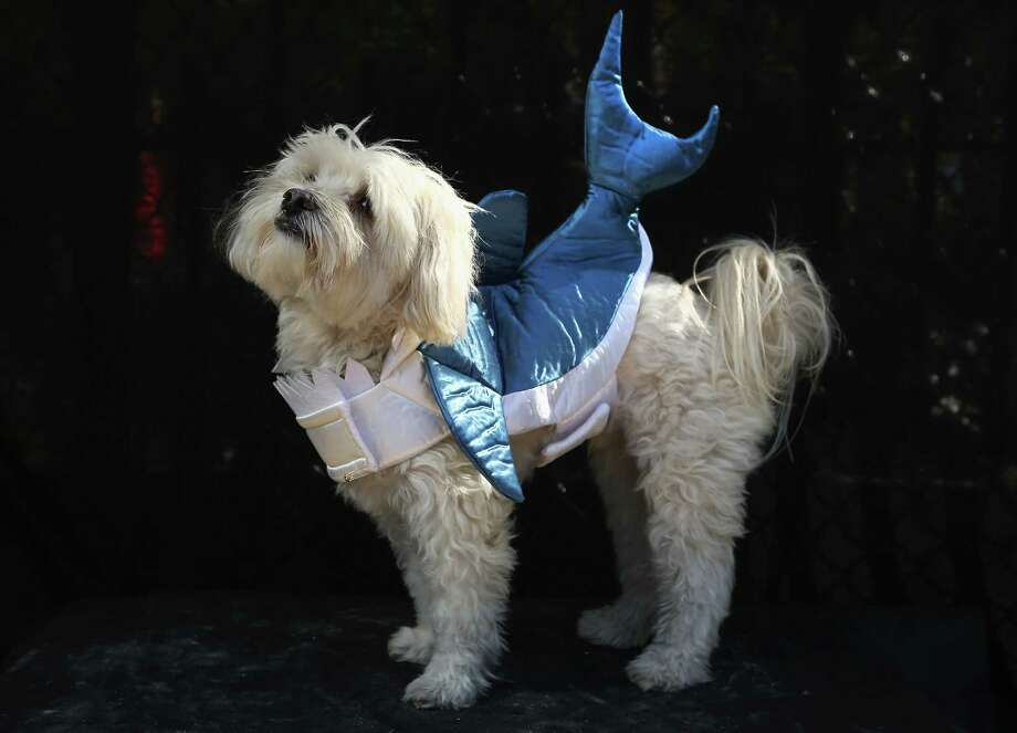 NEW YORK, NY - OCTOBER 20:  Sherlock, a Maltipoo, poses as a shark at the Tompkins Square Halloween Dog Parade on October 20, 2012 in New York City. Hundreds of dog owners festooned their pets for the annual event, the largest of its kind in the United States. Photo: John Moore, Getty Images / 2012 Getty Images