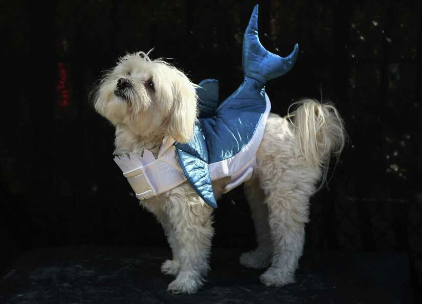 NEW YORK, NY - OCTOBER 20:  Sherlock, a Maltipoo, poses as a shark at the Tompkins Square Halloween