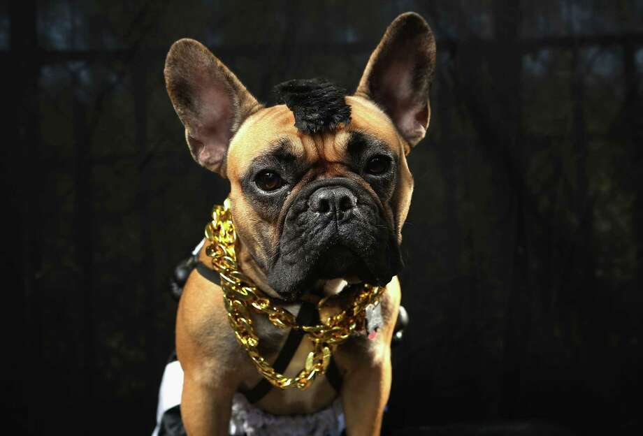 NEW YORK, NY - OCTOBER 20: Gus, a boxer, poses as Mr. T at the Tompkins Square Halloween Dog Parade on October 20, 2012 in New York City. Hundreds of dog owners festooned their pets for the annual event, the largest of its kind in the United States. Photo: John Moore, Getty Images / 2012 Getty Images