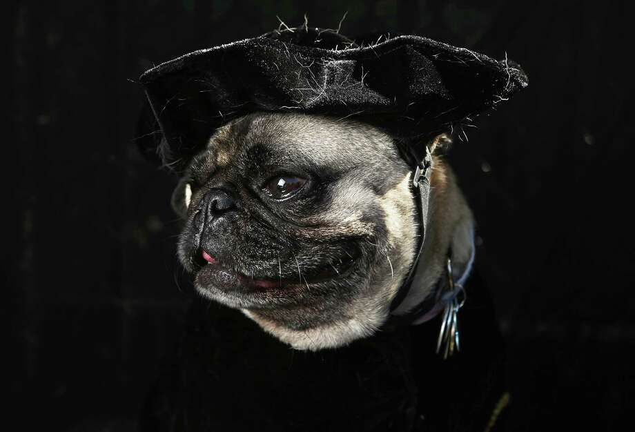 NEW YORK, NY - OCTOBER 20:  Shakespearean Pug Charlie dresses up for the Tompkins Square Halloween Dog Parade on October 20, 2012 in New York City. Hundreds of dog owners festooned their pets for the annual event, the largest of its kind in the United States. Photo: John Moore, Getty Images / 2012 Getty Images