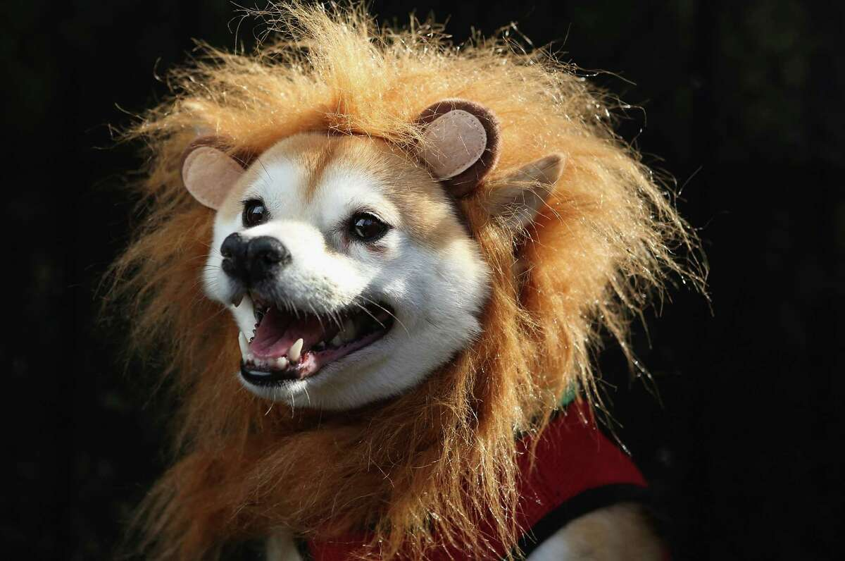 NEW YORK, NY - OCTOBER 20: Kuma, a Shibu Inu, poses as a lion at the Tompkins Square Halloween Dog Parade on October 20, 2012 in New York City. Hundreds of dog owners festooned their pets for the annual event, the largest of its kind in the United States. (Photo by John Moore/Getty Images) *** BESTPIX ***
