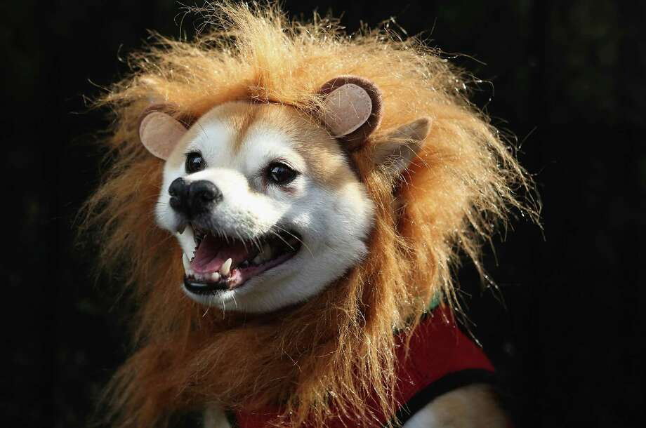 NEW YORK, NY - OCTOBER 20:  Kuma, a Shibu Inu, poses as a lion at the Tompkins Square Halloween Dog Parade on October 20, 2012 in New York City. Hundreds of dog owners festooned their pets for the annual event, the largest of its kind in the United States.  (Photo by John Moore/Getty Images) *** BESTPIX *** Photo: John Moore, Getty Images / 2012 Getty Images