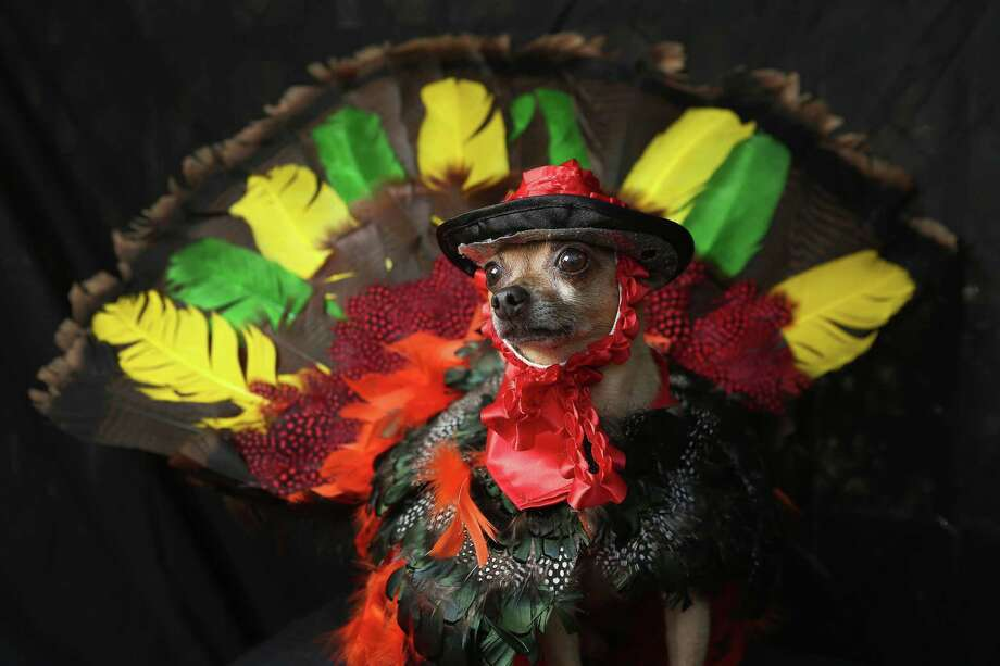 NEW YORK, NY - OCTOBER 20:  Feli, a Chihuahua, poses as a Thanksgiving turkey at the Tompkins Square Halloween Dog Parade on October 20, 2012 in New York City. Hundreds of dog owners festooned their pets for the annual event, the largest of its kind in the United States. Photo: John Moore, Getty Images / 2012 Getty Images