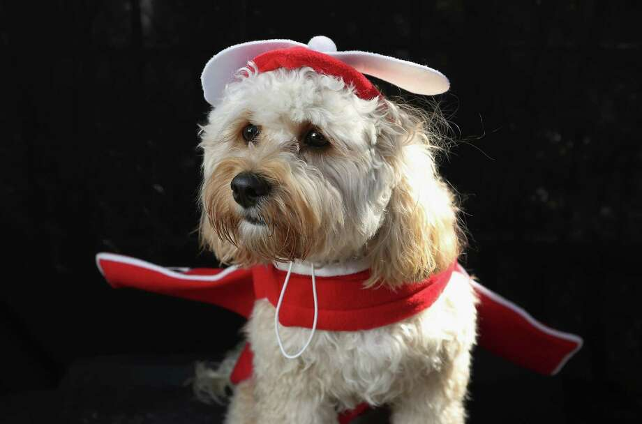 NEW YORK, NY - OCTOBER 20:  Paddington, a Cavapoo, poses as an airplane at the Tompkins Square Halloween Dog Parade on October 20, 2012 in New York City. Hundreds of dog owners festooned their pets for the annual event, the largest of its kind in the United States. Photo: John Moore, Getty Images / 2012 Getty Images