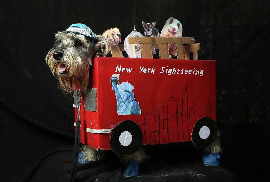 NEW YORK, NY - OCTOBER 20:  Nacho, a four-year-old Schnauzer, poses as a New York sightseeing bus driver at the Tompkins Square Halloween Dog Parade on October 20, 2012 in New York City. Hundreds of dog owners festooned their pets for the annual event, the largest of its kind in the United States. Photo: John Moore, Getty Images / 2012 Getty Images