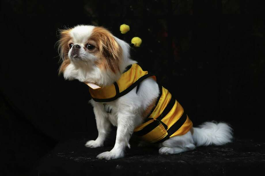 NEW YORK, NY - OCTOBER 20:  Honey, a Japanese Chin, poses as a bumble bee at the Tompkins Square Halloween Dog Parade on October 20, 2012 in New York City. Hundreds of dog owners festooned their pets for the annual event, the largest of its kind in the United States. Photo: John Moore, Getty Images / 2012 Getty Images