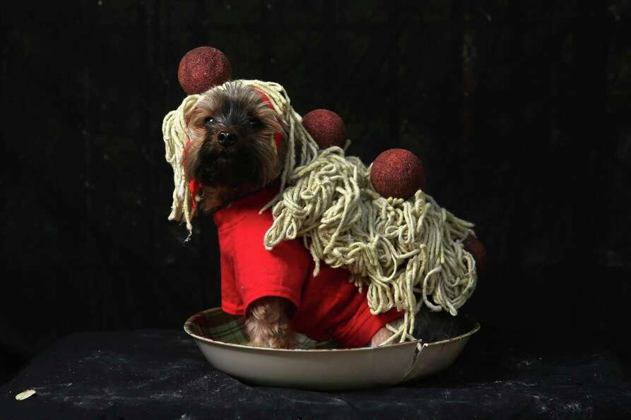 NEW YORK, NY - OCTOBER 20:  Yorkshire terrier Baxter poses as spaghetti and meatballs at the Tompkin