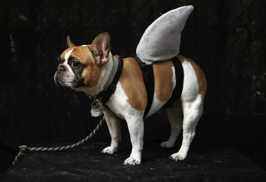 NEW YORK, NY - OCTOBER 20:  Hudson, a French bulldog, poses as a shark at the Tompkins Square Halloween Dog Parade on October 20, 2012 in New York City. Hundreds of dog owners festooned their pets for the annual event, the largest of its kind in the United States. Photo: John Moore, Getty Images / 2012 Getty Images