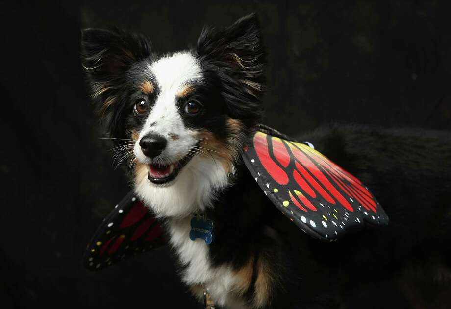 NEW YORK, NY - OCTOBER 20:  Astor, a mini Aussie, poses as a butterfly at the Tompkins Square Halloween Dog Parade on October 20, 2012 in New York City. Hundreds of dog owners festooned their pets for the annual event, the largest of its kind in the United States. Photo: John Moore, Getty Images / 2012 Getty Images