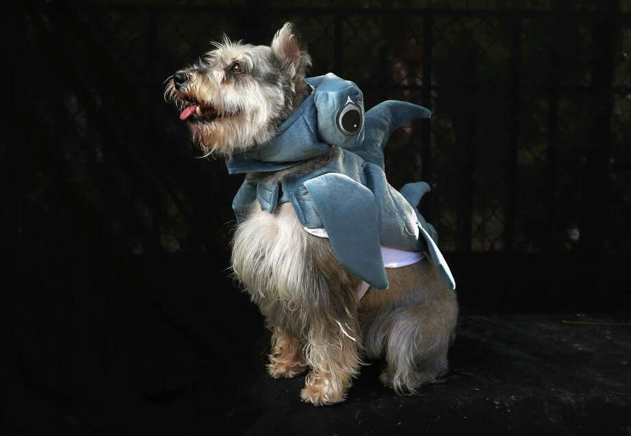 NEW YORK, NY - OCTOBER 20:  Blue, a Bijon Frise, poses as a dragon at the Tompkins Square Halloween Dog Parade on October 20, 2012 in New York City. Hundreds of dog owners festooned their pets for the annual event, the largest of its kind in the United States. Photo: John Moore, Getty Images / 2012 Getty Images