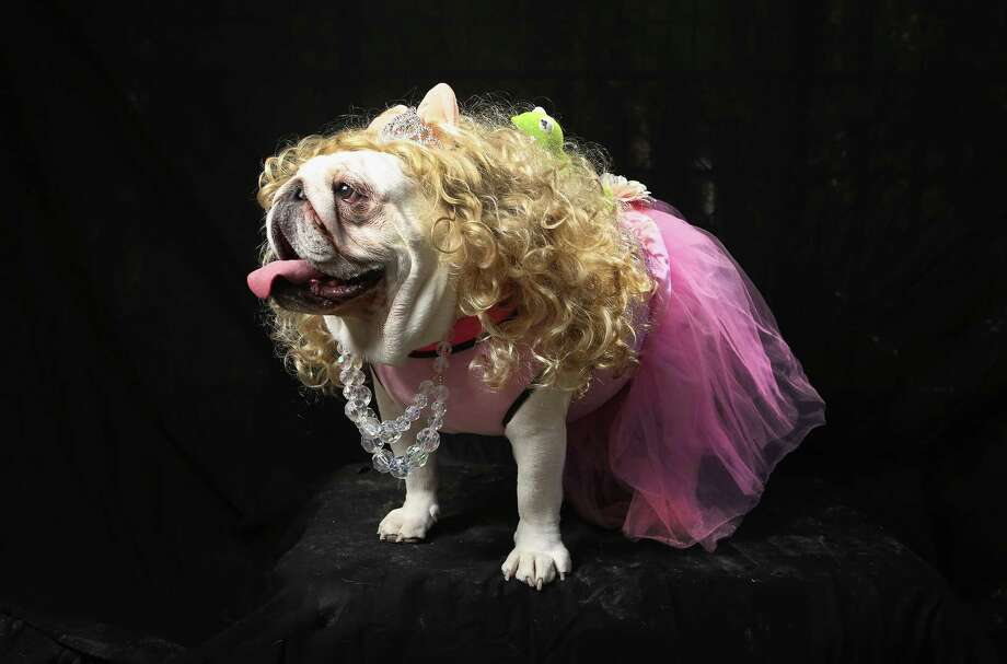 NEW YORK, NY - OCTOBER 20:  Bulldog Bella poses as Miss Piggy at the Tompkins Square Halloween Dog Parade on October 20, 2012 in New York City. Hundreds of dog owners festooned their pets for the annual event, the largest of its kind in the United States. Photo: John Moore, Getty Images / 2012 Getty Images