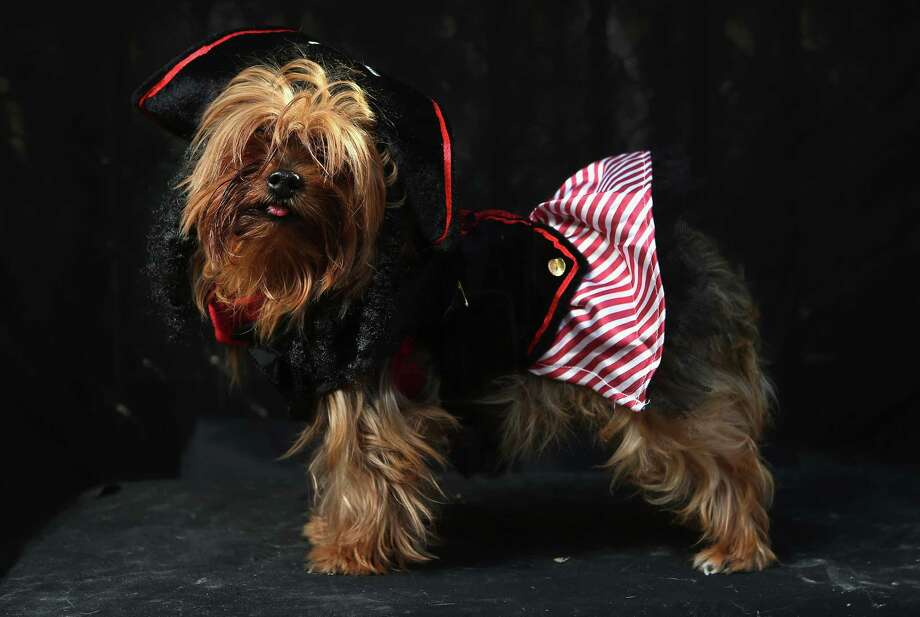 NEW YORK, NY - OCTOBER 20:  Chickie, a Yorkie, poses as Captain Jackie Sparrow at the Tompkins Square Halloween Dog Parade on October 20, 2012 in New York City. Hundreds of dog owners festooned their pets for the annual event, the largest of its kind in the United States. Photo: John Moore, Getty Images / 2012 Getty Images