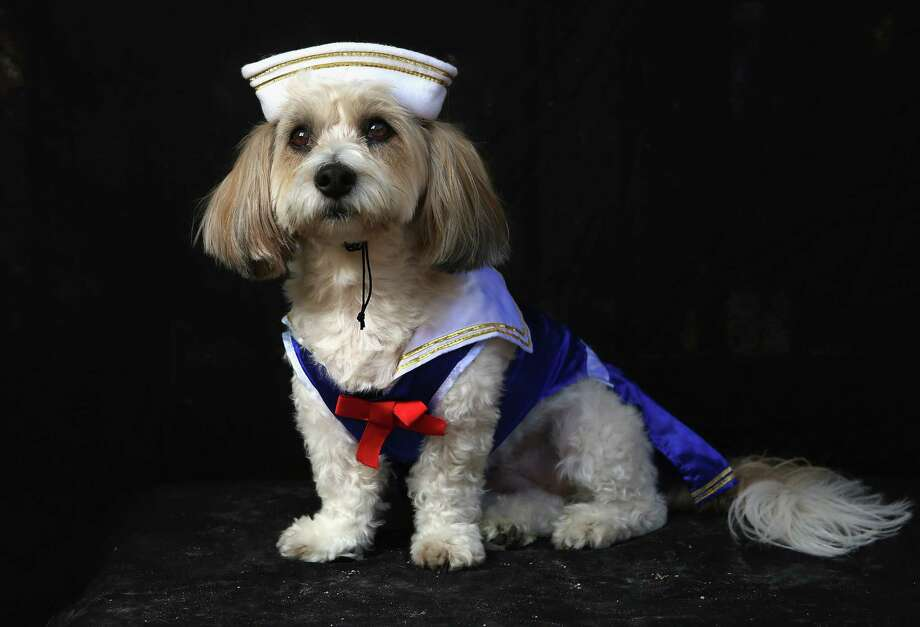 NEW YORK, NY - OCTOBER 20:  Lola, a coton breed, poses as sailor at the Tompkins Square Halloween Dog Parade on October 20, 2012 in New York City. Hundreds of dog owners festooned their pets for the annual event, the largest of its kind in the United States. Photo: John Moore, Getty Images / 2012 Getty Images