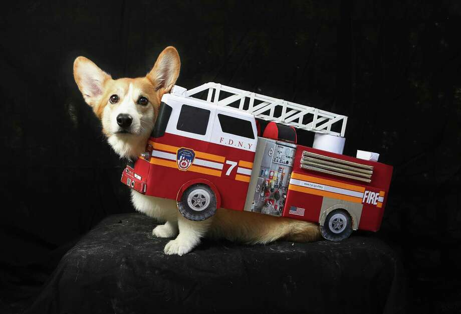 NEW YORK, NY - OCTOBER 20:  Harry, a corgi, poses as a fire truck at the Tompkins Square Halloween Dog Parade on October 20, 2012 in New York City. Hundreds of dog owners festooned their pets for the annual event, the largest of its kind in the United States. Photo: John Moore, Getty Images / 2012 Getty Images