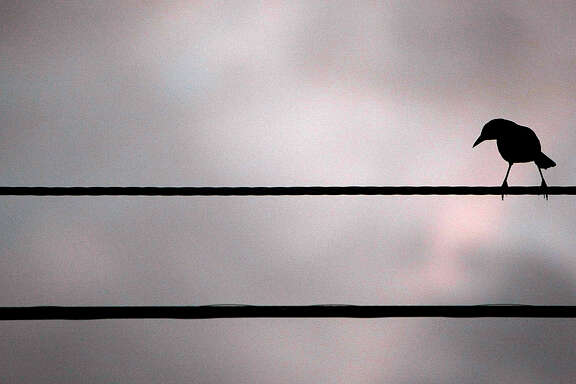 A grackle sits on a power line at sunrise on the corner of Ella and 43rd Streets Monday, Oct. 22, 2012, in Houston.