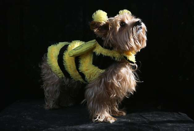Daisy gets a buzz on at the Tompkins Square Halloween Dog Parade. Photo: John Moore, Getty Images