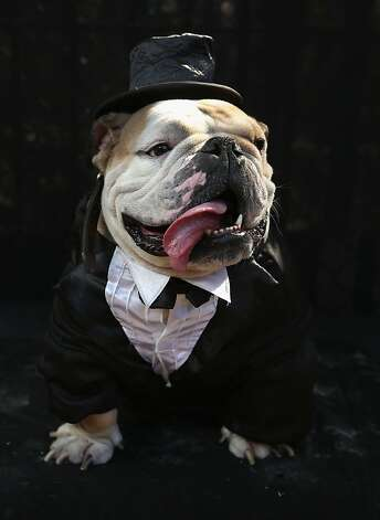 For Meatball, the Tompkins Square Halloween Dog Parade is a black-tie affair. Photo: John Moore, Getty Images