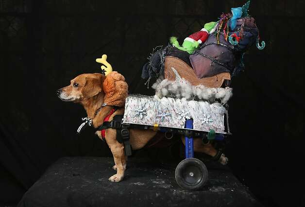 "Max, the Grinch's ""reindog"" (Oscar, a rescued Chihuahua-mix wheelchair dog), prepares to carry out his master's plan to steal Christmas. Photo: John Moore, Getty Images"
