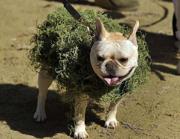 A Chia Pet in desperate need of pruning. Photo: Timothy A. Clary, AFP/Getty Images