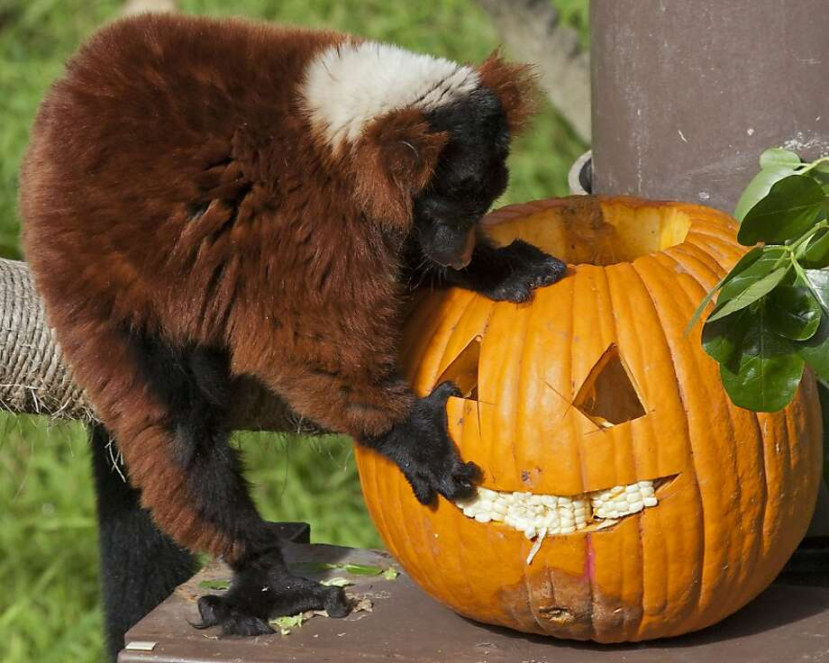 A lemur enjoys a jack-o'-lantern at Boo at the Zoo in S.F. Today's Halloween fest features entertainment, trick-or-treating and a hay maze. Photo: San Francisco Zoo