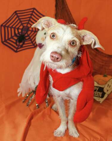 Tom is hoping to find a loving family. Photo: San Antonio Humane Society / San Antonio Express-News