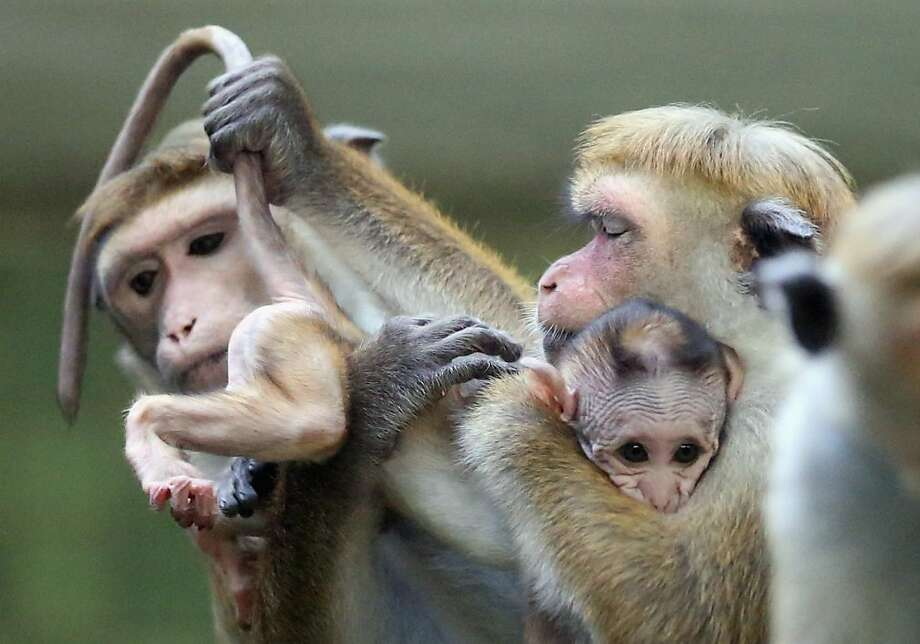 He's a handful:Disciplining children is so much easier when there's a tail to yank. (A togue macaque and her baby at the Zoo Berlin.) Photo: Sean Gallup, Getty Images