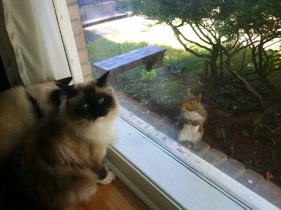 Phyllis  Stanton, scotia-glenville Lucy, my ragdoll, is frustrated because she can't get him and is looking to me for help!