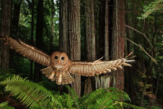 Northern Spotted Owl, California, 2009. Photo by Michael Nichols/ National Geographic Stock Photo: Courtesy