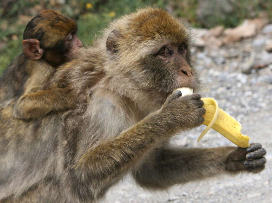 FALSE: Dieting monkeys in a study published in Nature this year were healthier than non-dieting monkeys, with less of risk of cancer and possibly diabetes. But they didn't live any longer. How restricted was their diet? It contained 30 percent fewer calories than normal. Photo: FAYEZ NURELDINE, . / 2011 AFP