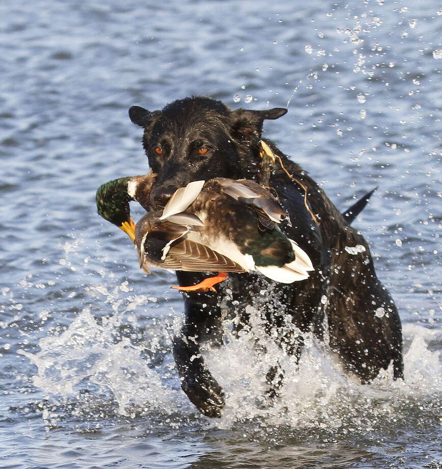 Texas waterfowlers and their retrievers may encounter more mallards than usual this hunting season. Photo: Picasa