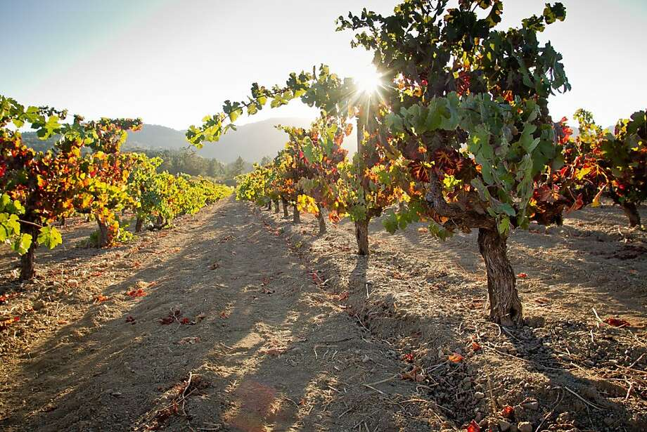 The Hayne Vineyard started as a 56-acre parcel in St. Helena and is considered precious ground, with its oldest vines dating to 1903. Part of it has been sold. Photo: John Storey, Special To The Chronicle