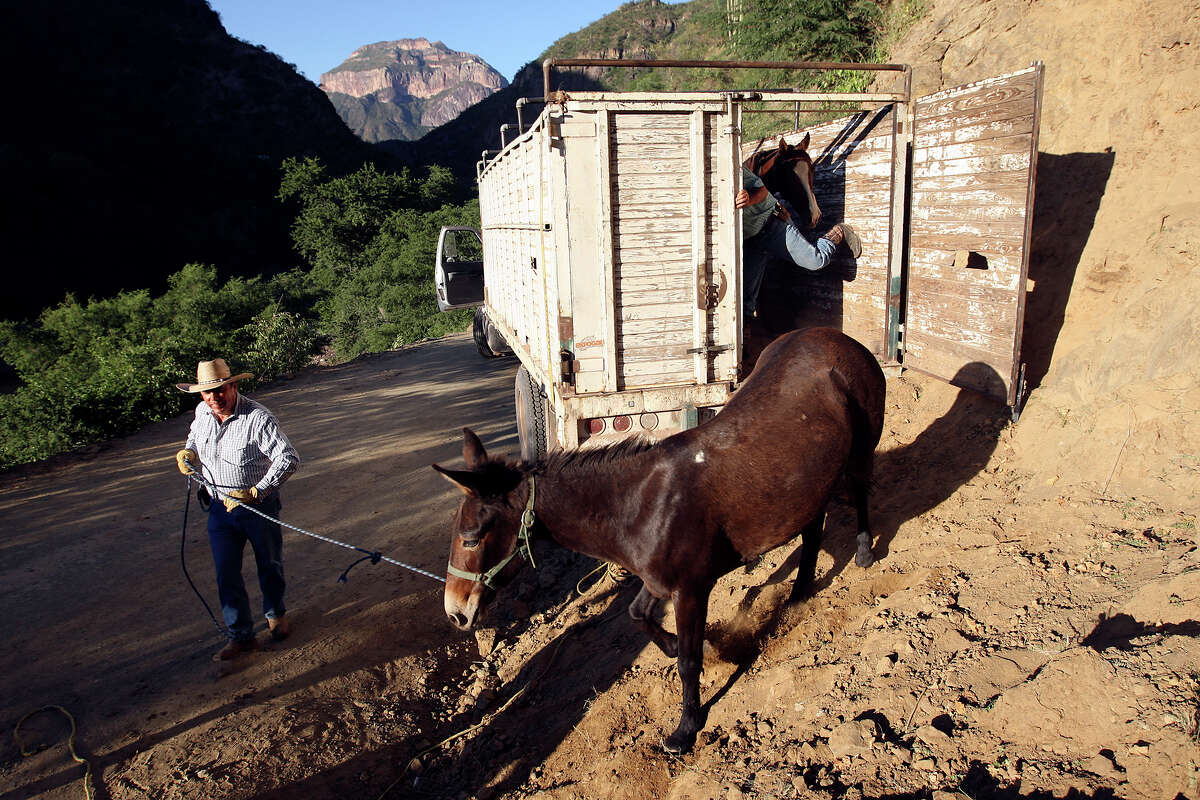 Dr. Saul Vargas guides a mule out of truck in Batopilas. Mules and horses were used by the trail riders.