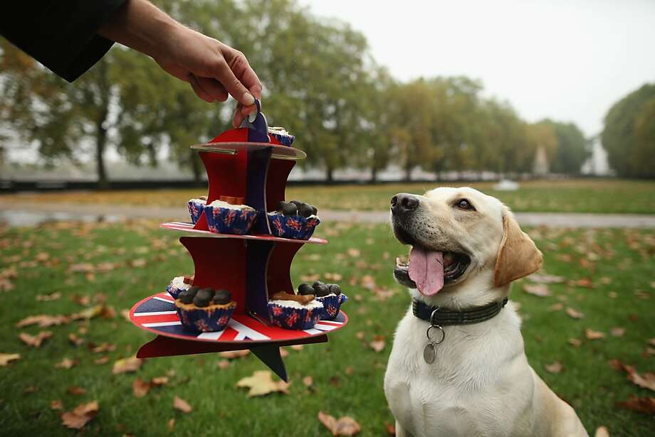 Can I tempt you with anything from the dessert tray? A contestant in the Westminster Dog of The Year competition in London obviously has a sweet tooth. Photo: Dan Kitwood, Getty Images